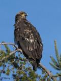 Bald Eagle juvenile 17b.jpg