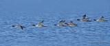 Common Mergansers in flight 4b.jpg