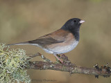 Dark-eyed Junco 28b.jpg