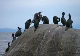 Double-crested and Pelagic Cormorants 4b.jpg