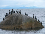 Double-crested and Pelagic Cormorants 6b.jpg