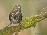 Fox Sparrow 20c.jpg