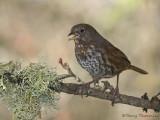 Fox Sparrow14b.jpg