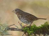Fox Sparrow18b.jpg