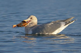 Glaucous-winged Gull with crab 3b.jpg