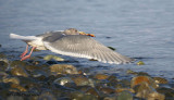 Glaucous-winged Gull with crab in flight 1b.jpg