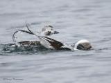 Long-taild Duck bathing 1b.jpg