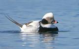 Long-tailed Duck 12b.jpg