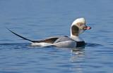 Long-tailed Duck 15b.jpg