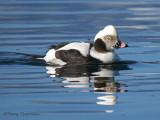 Long-tailed Duck 31b.jpg