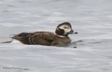 Long-tailed Duck female winter 1b.jpg