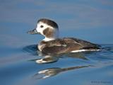 Long-tailed Duck juvenile female 3b.jpg
