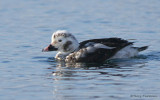 Long-tailed Duck juvenile male moulting 1b.jpg