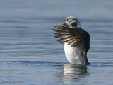 Long-tailed Duck juvenile male wing-flapping 4b.jpg