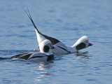 Long-tailed Ducks displaying 1b.jpg