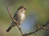 Purple Finch female or juvenile male 8b.jpg
