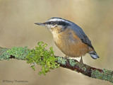 Red-breasted Nuthatch 27a.jpg
