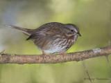 Song Sparrow 17b.jpg