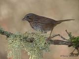 Song Sparrow 26b.jpg