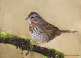 Song Sparrow 28b.jpg