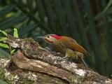 Golden-olive Woodpecker 31a.JPG