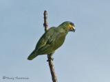 Orange-winged Parrot 1a.JPG
