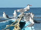 Royal Tern and Laughing Gulls 2b.jpg