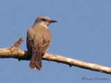 Tropical Kingbird 1b.jpg