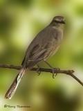 Tropical Mockingbird 3b.JPG