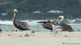 Brown Pelican 1b.jpg