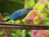 Blue-gray Tanager.jpg
