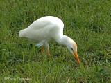 Cattle Egret.JPG
