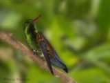 Copper-rumped Hummingbird.JPG