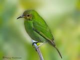 Green Honeycreeper female.JPG