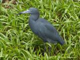 Little Blue Heron.jpg