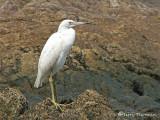 Little Blue Heron immature 1.JPG