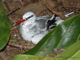 Red-billed Tropicbird 2.JPG