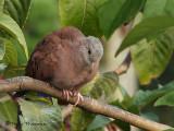 Ruddy Ground Dove 1.JPG