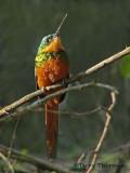Rufous-tailed Jacamar 1.JPG