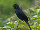 White-lined Tanager 1.JPG