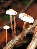 Marasmius sp. - Mushrooms on branch AA1a.jpg