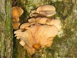Pleurotus ostreatus Oyster Mushroom 1b.jpg