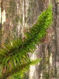 Feather Moss on tree trunk 1a.jpg