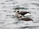 Long-tailed Ducks - females 1a.jpg