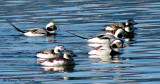 Long-tailed Ducks 15b.jpg