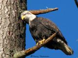 Bald Eagle sub-adult 18a.jpg