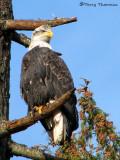 Bald Eagle sub-adult 19b.jpg
