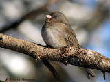 Dark-eyed Junco female 8a.jpg