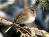 Dark-eyed Junco female 19a.jpg