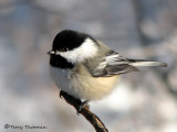 Chickadees and Nuthatches